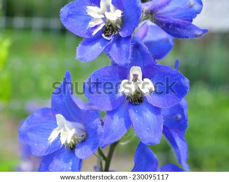Splendid Blue Delphinium Most Beautiful Flower In Gardens