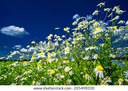 Splendid camomiles against blue sky background.
