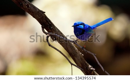 Splendid Fairy Wrens, Australia - stock photo
