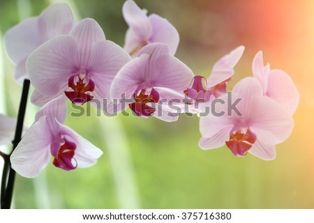 Splendid fresh elegant light pink orchid tender exotic flower plant with pretty petals colorful natural floral decor for card garden design on green blur background closeup outdoor, horizontal picture - stock photo