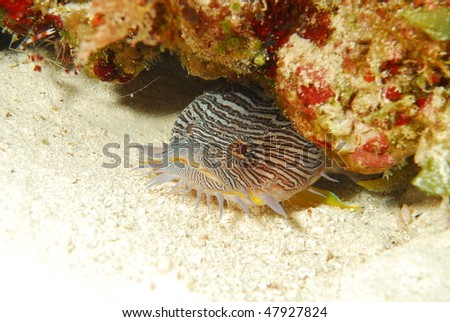 Splendid Toadfish, only found on the Cozumel reefs