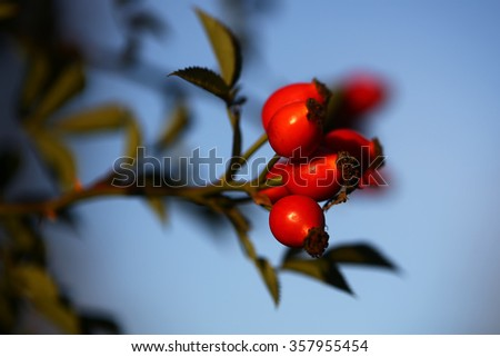 Splendid twig of fragrant brier rosa canina with ripe sweet bright red berries plant of organic nutrient and vitamin c wildlife cute wallpaper outdoor on natural blue background closeup, horizontal - stock photo