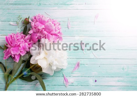 Splendid white and pink  pink  peonies flowers in ray of light on turquoise painted wooden planks. Selective focus. Place for text.  - stock photo