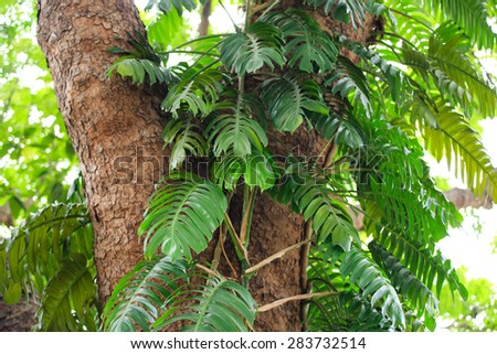 Split Leaf Philodendron  - stock photo