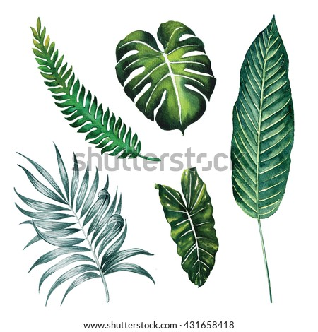 Split leaves ,Palm ,Banana tropic forest spring season watercolour ,jungle tropical botany ,object isolated on white background illustration - stock photo