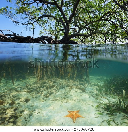 Split shot of a red mangrove tree over and under sea surface with its roots and a starfish underwater, Caribbean, Belize - stock photo
