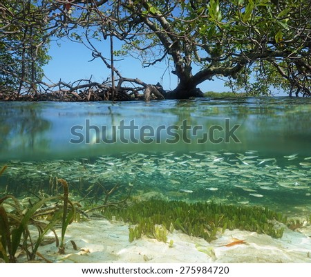 Split view in the mangrove with tree above water surface and shoal of juvenile fish underwater, Caribbean sea - stock photo