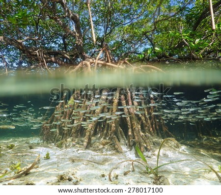 Split view of mangrove tree in the water above and below sea surface with roots and school of fish underwater, Caribbean - stock photo