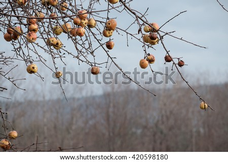 Spoiled and Rotting Apples hang precariously on Lichen covered trees as winter sets in in Northern Maine - stock photo