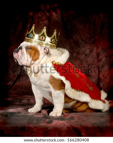 spoiled dog - english bulldog dressed up like a king - 4 year old male - stock photo