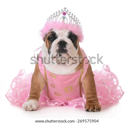 spoiled dog - english bulldog dressed up like a princess on white - stock photo