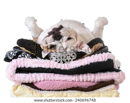 spoiled dog laying on a pile of soft dog beds isolated on white background - english bulldog - stock photo