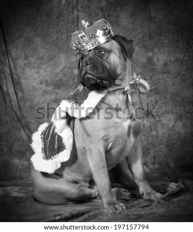 spoiled dog wearing king costume in black and white - stock photo