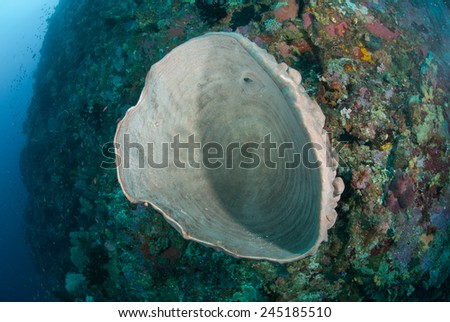 Sponge in Ambon, Maluku, Indonesia underwater photo. There is giant sponge among the coral reef.