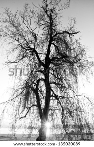 spooky abstract black and white tree silhouette in sunrise time