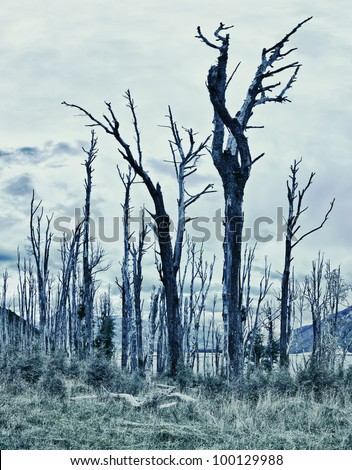 Spooky forest with dry trees - stock photo