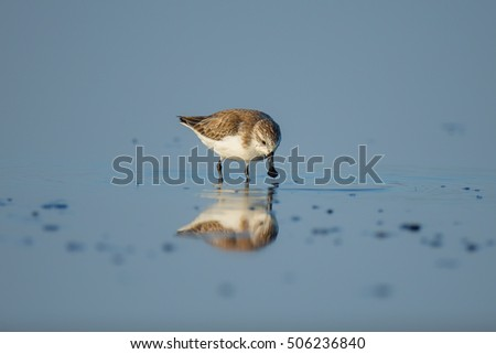 Spoon-billed Sandpiper and shorebirds at the Inner Gulf of Thailand.Very rare and critically endangered species of the world.