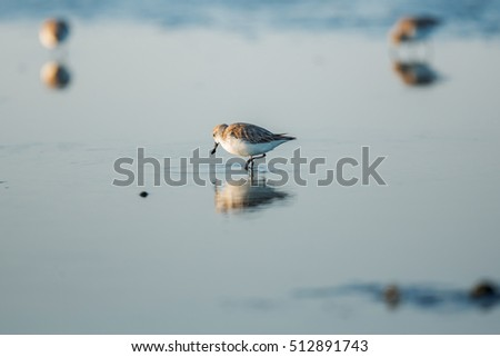 Spoon-billed Sandpiper and shorebirds at the Inner Gulf of Thailand.Very rare and critically endangered species of the world,walking and foraging in water with morning ligh