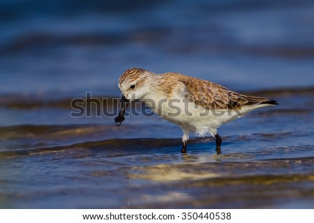 Spoon-billed sandpiper (Calidris pygmaea) who Critically Endangered status in Red list of IUCN looking for food in nature in Thailand - stock photo