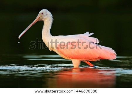 Spoonbill bird. Beautiful sunrise with bird, Platalea ajaja, Roseate Spoonbill, in the water sun back light, detail portrait of bird with long flat bill, Florida, USA. Animal in the nature habitat. - stock photo