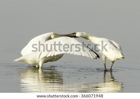 spoonbill feeding his baby bird / Platalea leucorodia / - stock photo