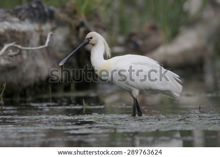 Spoonbill, Platalea leucorodia, single bird in water, Romania, May 2015