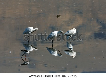 Spoonbills standing on a small swamp in different positions - stock photo