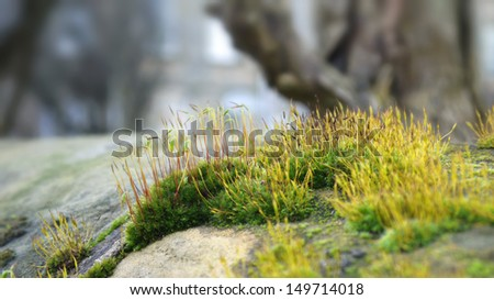Spore-bearing capsules or sporangia of mosses growing on a rock - stock photo