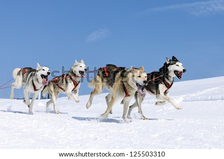 sportive dogs in the snow, extreme, mountain - stock photo