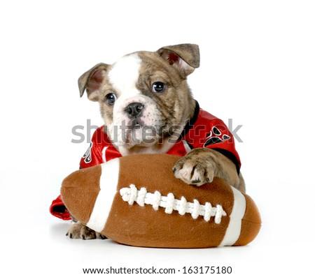 sports hound- english bulldog dressed up like football player - stock photo
