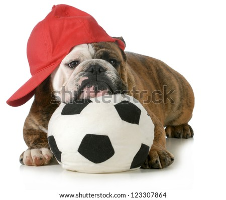 sports hound - english bulldog laying down with head resting on soccer ball - stock photo