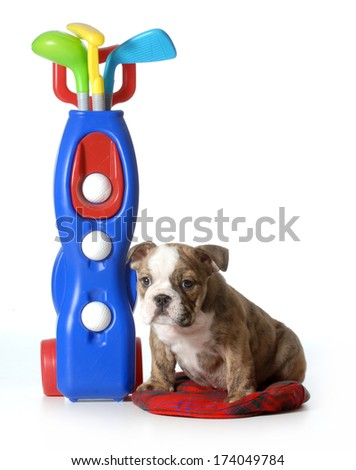 sports hound - english bulldog sitting beside set of toy golf club isolated on white background - stock photo