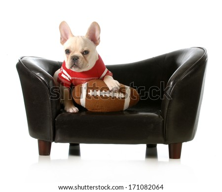 sports hound - french bulldog with stuffed football sitting on couch isolated on white background - stock photo