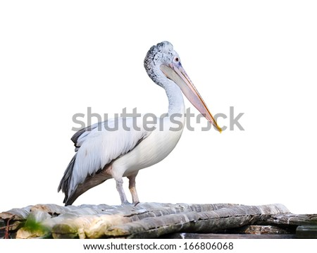 Spot Billed Pelican - stock photo