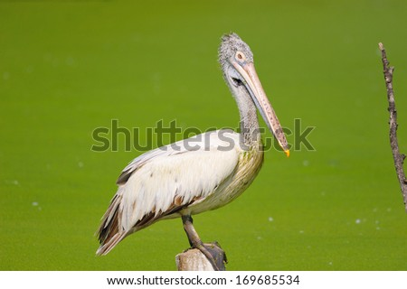 Spot-Billed Pelican - stock photo