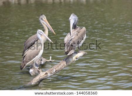 spot billed pelican in water pool - stock photo