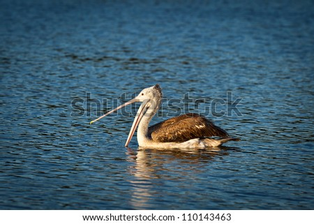 Spot Billed Pelican on the river