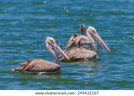 Spot-billed pelican( Pelecanus philippensis)  in nature at Laempukbia, Petchaburi,Thailand