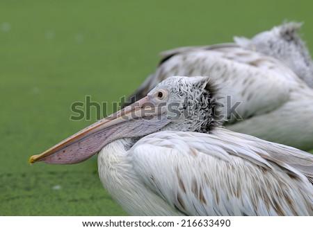 spot-billed pelican (Pelecanus philippensis) side and  Head  profile - stock photo