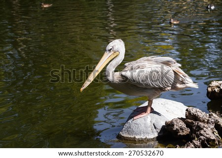 Spot billed pelican standing on a rock with water all around