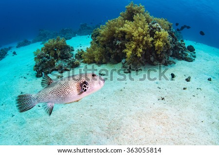 Spotfin Burrfish on the reef of the Red Sea