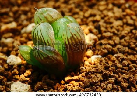 Spotlighting to Haworthia obtusa. Selective focus and low key picture. - stock photo