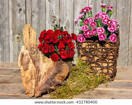 Spotted and red gillyflowers or sweet williams for table decoration with wood and moss. - stock photo