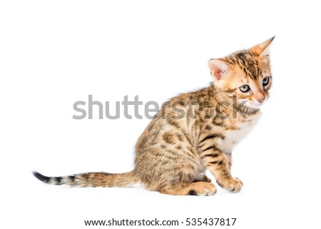 spotted bengal cat breed close-up on a white background