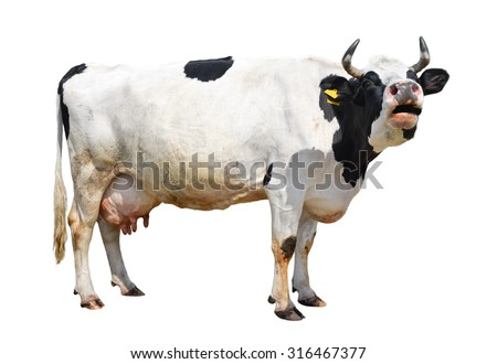 Spotted black and white cow full length isolated on white/Cow/ Spotted black and white cow full length isolated on white