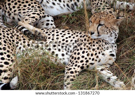 Spotted Cheetah - stock photo