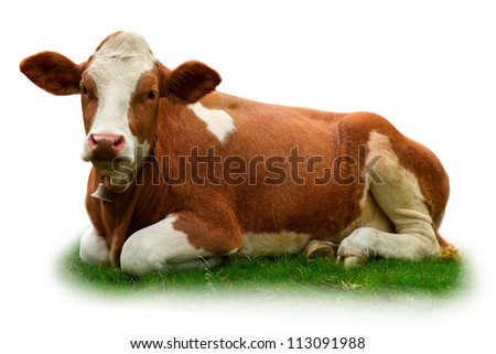 Spotted cow on grass isolated on white - stock photo