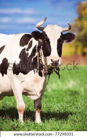 Spotted cow on green meadow in the autumn - stock photo