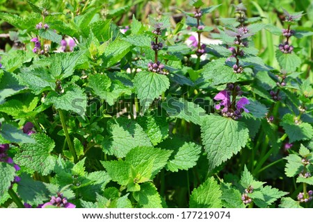 Spotted dead-nettle (Lamium maculatum) plant - flowers and leaves. - stock photo