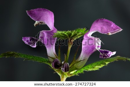 Spotted Deadnettle (Lamium maculatum) flowers. - stock photo